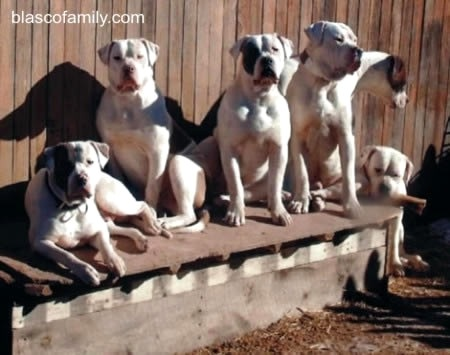American Bulldogs, Colorado