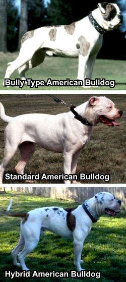 No, American Bulldogs are Not Pitbulls