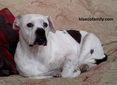 Johnson Type American Bulldog female
