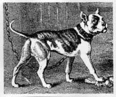 Early American Bulldog