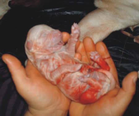 Newborn american bulldog puppy blasco family bulldogs american
