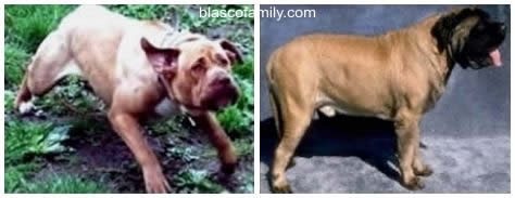 Bandogge and English Mastiff; which is better...?